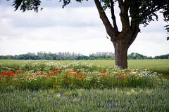 Insel Rügen (ingrid eulenfan) Tags: vorpommer ostsee küste altefähr rügen feld blumen kornblumen mohnblumen getreide aum natur nature insel baum landschaft sommer
