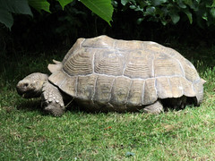 Giant Tortoise - Tropical Butterfly House Wildlife And Falconry Centre 2018 (Dave_Johnson) Tags: tropicalbutterflyhousewildlifeandfalconrycentre tropicalbutterflyhouse wildlifepark park centre butterflyhouse anston northanston sheffield southyorkshire animal animals tortoise gianttortoise