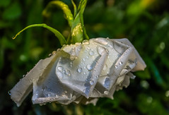 After the storm (Pejasar) Tags: white rose bloom blossom antigua guatemala rain drops water droplets sun light beauty beaten green nature