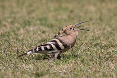 Hoopoe (Enricu) Tags: muscat worm upupaepops wildlife 400100mm oman eos80d bird travel ngc park canon hoopoe nature eating