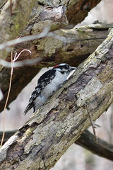 Downy Woodpecker (Picoides pubescens) (Ryan Hodnett) Tags: downywoodpecker picoidespubescens