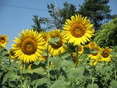 Una bella estate a tutti! (Eli.b.) Tags: girasole fiori girasoli flowers yellow estate summer tournesols girasol ete fleurs giallo