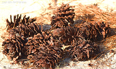Pine Cones in the Sand (Sage Girl Photography) Tags: carolinabeachstatepark outdoors nature sand pinecone sunlight details needles pine conifers sagegirl nikond3300 brown