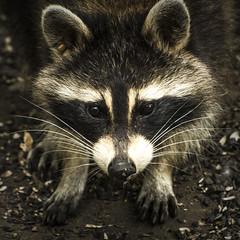 Whiskers. Windsor, ON. (Paul Thibodeau) Tags: photooftheday windsor nikond500 ojibwaypark nature animal raccoon whiskers