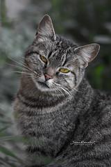 MIRADA  PENETRANTE (Jaime Ramallo Camacho) Tags: gatos lapaz bolivia lapazciudadmaravillosa mascotas lapazbolivia boliviacorazóndelsur boliviateespera