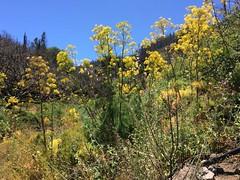 flores Senderismo Ruta desde Pico de las Nieves a Cueva Grande Gran Canaria  17 (Rafael Gomez - http://micamara.es) Tags: flores senderismo ruta desde pico de las nieves cueva grande gran canaria