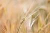 Gold (EdiB.) Tags: wheat field macro bokeh gold nature