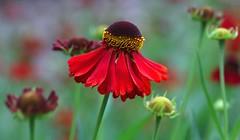 dancing with a golden belt (HansHolt) Tags: helenium moerheimbeauty sneezeweed zonnekruid flower bloem red rood gold goud belt riem macro bokeh dof canoneos6d canonef100mmf28macrousm