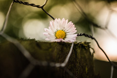 Happy Flower Fence Friday! (Emma Yeardley) Tags: fencedfriday fencefriday chickenwire daisy flower pretty sunlight bokeh dof nikon 40mm macro hff d3300