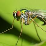 Long-Legged Green Fly Close-Up thumbnail
