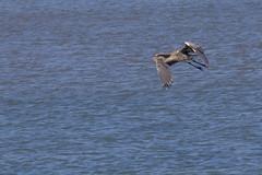 IMG_2479 (armadil) Tags: mavericks beach beaches bird birds flying californiabeaches heron greatblueheron blueheron