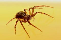 Captured! 230518 IMG_0012 (clavius2) Tags: female running crab spider philodromus aureolus philodromidae family north east england uk arachnid