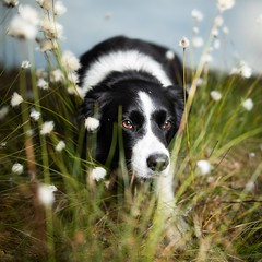 As he walks silently by my side..... (svensl) Tags: bert border collie portrait conceptual scotland