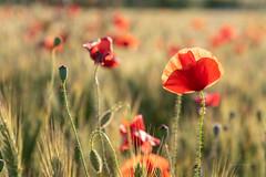 Caperucita roja (Alicia Clerencia) Tags: flores flowers poppy amapola red rojo countryside campo landscape paisaje primavera spring trigo wheat backlighting contraluz