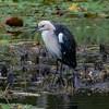 White-necked Heron (gecko47) Tags: bird wader heron wetlands whiteneckedheron ardeapacifica enoggerareservoir thegap waterlilies
