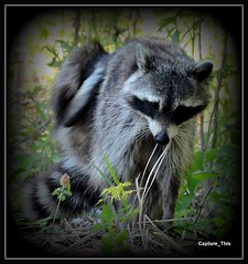 Raccoon Scratching (todd5524) Tags: raccoon animals wild life amazing itch scratch awesome outdoors woods trees photography photoshop nikon coolpix picasa
