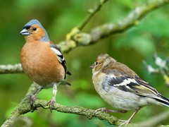 Chaffinch (wildlifelynn) Tags: chaffinch fringillacoelebs derbyshire adult youngster bird common widespread inland urban rural gardens parkland farmland scrubland bushyheathland gorse deciduouswoodland mixedwoodland residentpopulation wintervisitor overwinters mixedwinterflocks passerine perches male chestnutorangebreastface bluegreycrownnape whitewingbars blacktippedbluegreybeak stoutbeak seedeatermainly grains smallseeds insectsmothsinsummer caterpillarstoyoung earlysummer earlyevening warmsunny deadbranch afterfeeding submissiveyoungster lowpov eyecontactwithmale bokeh