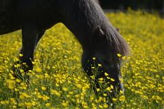 He likes buttercups too (moniquerebanks) Tags: buttercups horse pony countrylife closeup boterbloemen wildflowers paard pferd outdoors veld field nature natuur nikond7100