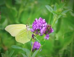 Citron- Gonepteryx rhamni (Dominique Dufour) Tags: citron papilloncitron gonepteryxrhamni butterflies nature macrophoto macropapillon proxiphoto dominiquedufourphoto dominiquedufourflickr domdufour fujis5pro fuji