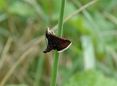 Pyrausta obfuscata (rockwolf) Tags: pyraustaobfuscata lepidoptera moth insect millylaforêt essonne france 2018 rockwolf