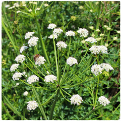 Hemlock Water-dropwort (Julie (thanks for 8 million views)) Tags: oenanthecrocata hemlockwaterdropwort umbellifer hww wing bee 100flowers2018 wildflowers flora fauna wexford ireland irish honeybee pollination poisonous squareformat canoneos100d duncannon coastal green bokeh hbw ter touch this plant