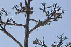 IMG_1301 (armadil) Tags: sanfrancisco sanfranciscobotanicalgarden sfbotanicalgarden bird birds woodpecker woodpeckers motherhood spring downywoodpecker downywoodpeckers agave