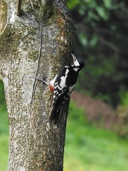 Great Spotted Woodpecker (Dendrocopos major) (Brian Carruthers-Dublin-Eire) Tags: great spotted woodpecker dendrocopos major greatspottedwoodpecker dendrocoposmajor woodpeckers picidae pic epeiche buntspecht carpintero picapinos grote bonte specht mórchnagaire breac piciformes bird animalia animal picepeiche carpinteropicapinos grotebontespecht wildlife aves avian nature ireland eíre