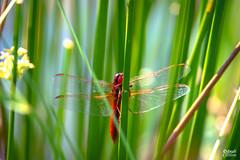 Libellen (dxuli) Tags: libellen libelle sonnenaufgang see natur naturschutz canon canondeutschland