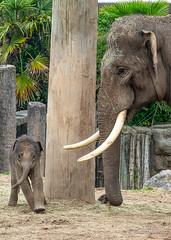 Anjan (JKmedia) Tags: asian elephant calf boy anjan chester boultonphotography zoo chesterzoo animal 2018