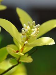 Tiny Beauties (The-Beauty-Of-Nature) Tags: summer sommer june juni nature germany deutschland plants pflanzen green grün lush sunny sun sonne sonnig warm fields feld blossoms blüten