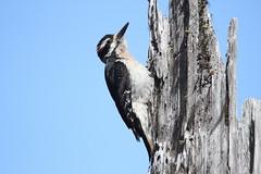 Hairy Woodpecker,  Leuconotopicus villosus (jlcummins - Washington State) Tags: hairywoodpecker bird yakimacounty washingtonstate leechlake whitepass wildlife fauna tamronsp150600mmf563divcusd canon