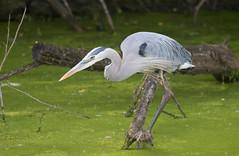 Great Blue Heron (vischerferry) Tags: greatblueheron heron bird wadingbird ardeaherodias newyorkstate