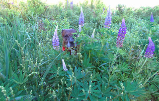 24/52/18 Ralphie! Don't be Poopin' in the Lupine!