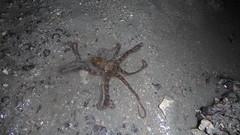 Reef octopus (wildsingapore) Tags: betingbronok pulau tekong mollusca cephalopoda octopus island singapore marine intertidal shore seashore marinelife nature wildlife underwater wildsingapore