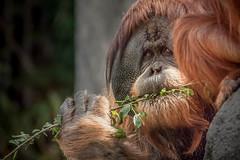 Sweet Satu (helenehoffman) Tags: greatape wildlife conservationstatuscriticallyendangered primate nature satu orangutan indonesia pongoabelii sandiegozoo sumatra mammal animal