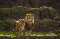 Animals. (ost_jean) Tags: lions leeuwen dieren animaux nikon d5200 7003000 mm f4563 ostjean