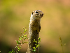 Ziesel, ground squirrel (Klaus Lechten) Tags: ziesel erdhörnchen gophers gopher groundsquirrels animals tiere gras groundsquirrel squirrel natur nature grass klaus zukio50200 lechten nager bokeh