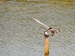 Pass the fish! (ejwwest) Tags: terns bird titchfield haven sternahirundo solent fareham hillhead southampton