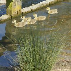 IMG_20180520_160939_591 (missymonroe82) Tags: ducks ducklings pondlife pond summer goose