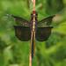Widow Skimmer - Libellula luctuosa, Julie Metz Wetlands, Woodbridge, Virginia