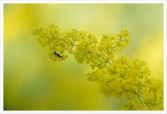 Un piccolo punto nero (Outlaw Pete 65) Tags: macro closeup fiore flower formica ant colori colours luce light giallo yellow nero black natura nature nikond600 sigma105mm collebeato lombardia italia
