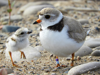 Piping Plovers!