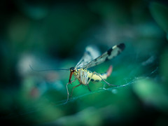 The Story of the brave Scorpion Fly and Mrs. Spider (ursulamller900) Tags: panorpacommunis skorpionsfliege helios442 mygarden labyrinthspinne spider