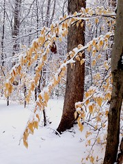 Woods in the winters. #SaveEarth (shaukat.fatima) Tags: leaves flowers branches trees winters woods plants snowfall snow nature kindness beautiful color cold yellow