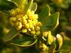 Buchsbaum-Blüte (Jörg Paul Kaspari) Tags: bremm diecalmonttour wanderung vorfrühling buchsbaumblüte palmsonntag buchsbaum buxussempervirens blüte flower buxus klettersteig calmont