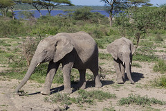 Elephants near lake Masek (Hector16) Tags: migration wildebeestmigration eastafrica tanzania wildlife serengeti ndutu nature ngc gettyimages