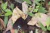 _ESI3609 Amesia namouna (papilioshih) Tags: mountabang kintamani bali indonesia