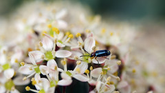 littletealbeetle (saracali.gallery) Tags: beetle earlyspring beauty green flowers insect closeup pretty tiny little nature happy white bokeh garden bright