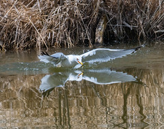 Amazing Moment... (ragtops2000) Tags: moment amazing seagull ringbilled image mirror catch fish fishing reflection water light sun colorful fast nature wildlife lake spring colors white brown