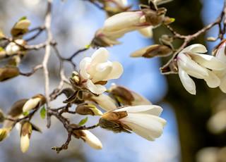 Spring in Zurich: Magnolia (2/3)